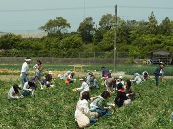 たまねぎ収穫体験 淡路島 濱田ファーム