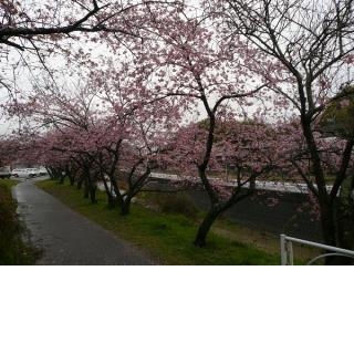 宇原の緋寒桜